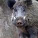 Wildschweine - Das Comeback