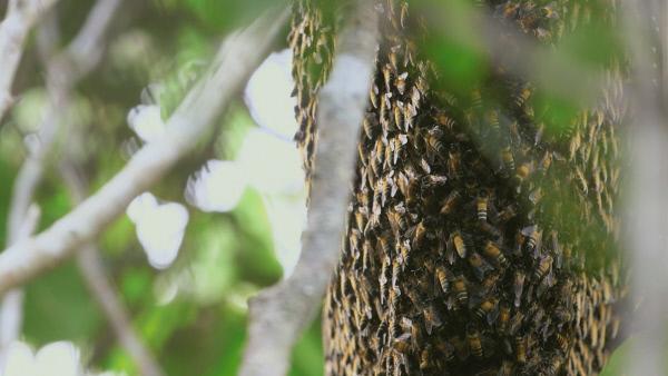 Bild 1 von 5: In diesem Nest leben über 20 000 Apis dorsata, eine große und aggressive Bienenart.