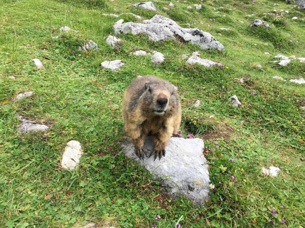 Bild 1 von 6: Murmeltiere sind Überlebende aus der letzten Eiszeit. Wie es ihnen gelang, nicht dem Schicksal ihrer ausgestorbenen Zeitgenossen zu folgen, ist ein Wunder der Natur.