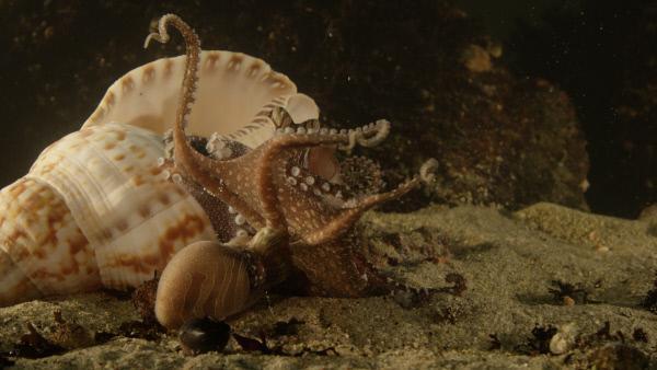 Bild 1 von 10: Bei der Paarung der Tintenfische entpuppen  sich die Kraken-Weibchen als \