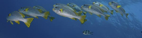 Bild 1 von 11: Süßlippen-Fische am Ribbon Reef, Großes Barriere Riff