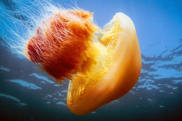 Bild 1 von 5: Nemopilema nomurai, eine Riesenqualle, in der Bucht von Jiaozhou, China