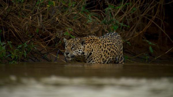 Bild 1 von 15: Ein Jaguar-Weibchen schleicht durchs Wasser.
