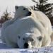 Der Sommer der Eisbären