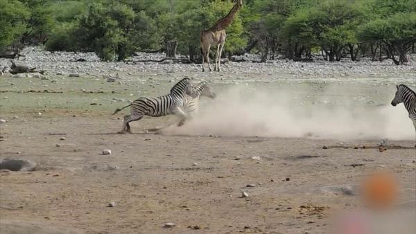 Bild 1 von 3: Der Konkurrenzkampf in der Wildnis bedeutet oft Kämpfen bis zum Tod.