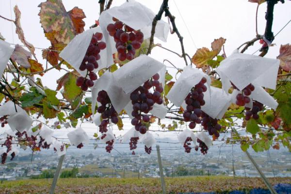 Bild 1 von 4: Sechs Monate vor der Lese der Koshu-Trauben werden kleine Papierhüte angebracht. Sie werden oben um den Stil gelegt und mit Heftklammern befestigt. So sind die Beeren vor dem Regen geschützt.