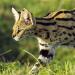 Servale - Afrikas unbekannte Katzen