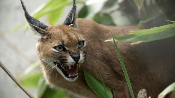 Bild 1 von 13: Der Karakal gehört zu der Familie der Katzen und stammt aus dem afroasiatischen Raum. Er wird oft als Wüstenluchs bezeichnet, ist aber keiner.
