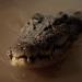Killer-Krokodile - Tod aus der Tiefe