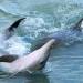 Delfine in der Haifischbucht