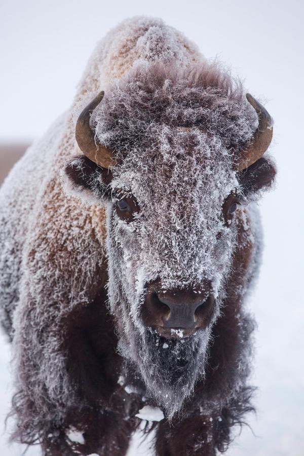 Bild 1 von 15: Ein junger Bison friert buchstäblich ein, wenn die Temperaturen im Yellowstone Nationalpark im Winter unter minus 40 Grad Celsius sinken.