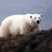 Tauchen mit Eisbären