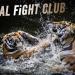 Animal Fight Club - Raubkatzen im Duell