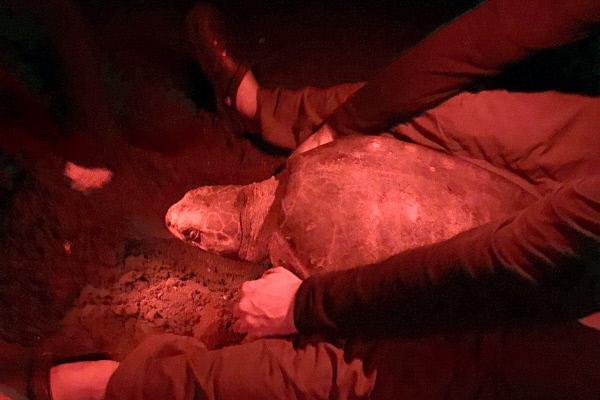 Bild 1 von 4: Ein internationales Forscherteam untersucht den Reproduktionszyklus von Meeresschildkröten im Detail. Ein Weibchen der Oliv-Bastardschildkröte legt etwa hundert Eier, die je vier Zentimeter Durchmesser haben.