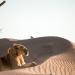 Wüstenkönige - Die Löwen der Namib
