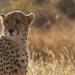 Die Tränen des Geparden