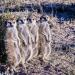 Tierische Titanen - Wilde Kalahari-Wüste