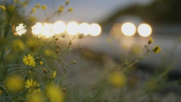 Bild 1 von 4: Invasive Pflanzen verbreiten sich entlang der Autobahnen: Die Samen werden mit dem Fahrtwind immer weiter getragen.