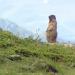 Pfeif drauf! Die Alpenmurmeltiere