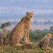 Die Großkatzen der Masai Mara