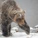 Der Berg der Bären - Yukons Grizzlys
