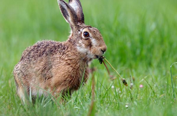 Bild 1 von 6: Wenn der Hase mit seinen großen Ohren Gefahr vernimmt, verschwindet er mit über 60 Stundenkilometern im Dickicht.