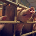 Unser Fleisch - Bio oder Masse?