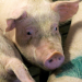 Armes Schwein - Fettes Geschäft