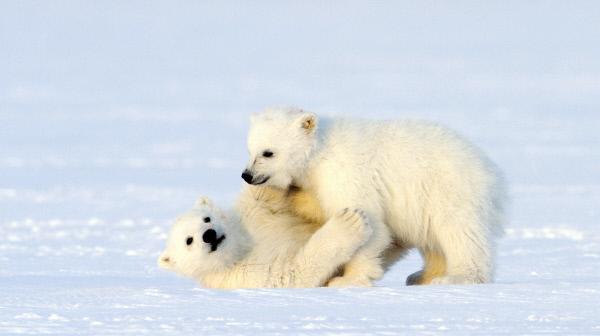 Bild 1 von 8: Geschwisterliebe: Im Spiel trainieren junge Eisbären ihre Muskeln und Geschicklichkeit.