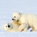 Auf Wiedersehen Eisbär!