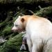 Im Regenwald der Geisterbären
