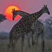 Naturwunder Okawango