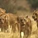 Das Gesetz der Löwen