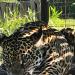 Argentinien - Die Rückkehr der Jaguare