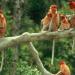 Die Supernasen von Borneo