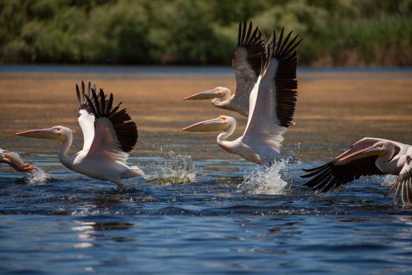 Bild 1 von 15: Die Pelikane im Donaudelta nutzen den warmen Aufwind, um sich in die Lüfte zu schwingen.