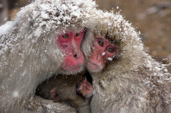 Bild 1 von 1: Keine Affenart lebt in kälteren Regionen als die Makaken Japans. Hin und wieder gönnen sie sich ein warmes Bad in den Thermalquellen Honshus.
