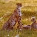 Geparde - Afrikas elegante Jäger