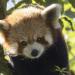 Der kleine Panda - Verborgen im Himalaya