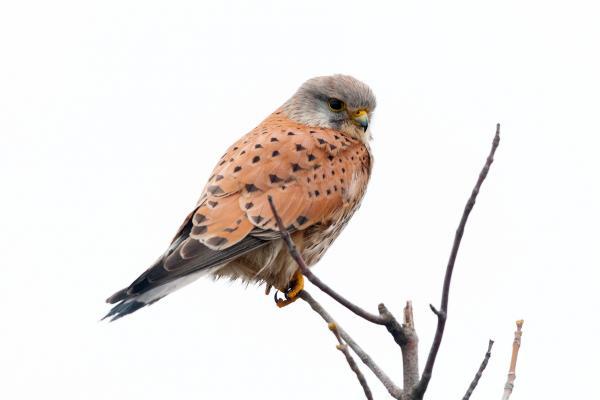 Bild 1 von 5: Der Turmfalke als ein Greifvogel, der viele unterschiedliche Lebensräume besiedeln kann, ist in Deutschland und in ganz Europa relativ häufig anzutreffen.