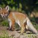Bilder zur Sendung: Niedersachsens schlaue Füchse