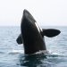 Orcas - Vorstoß in die Arktis