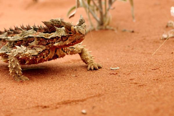 Bild 1 von 5: Der Dornteufel hat sich dem Leben in der trockenen Wüste Australiens perfekt angepasst.