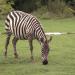 Giraffe, Erdmännchen & Co