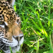 Argentinien: Rückkehr der Jaguare