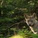 Erlebnis Erde: Familie Wolf - Gefährliche Nachbarn