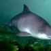 Schweinswale zwischen Sylt und Kanada