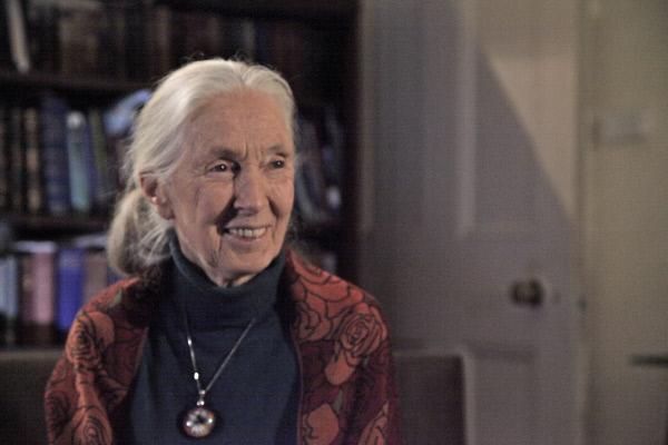 Bild 1 von 5: Jane Goodall: Schimpansen sind uns ähnlicher als wir denken - im Guten und im Bösen.
