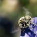 Bilder zur Sendung: Hummeln - Bienen im Pelz