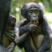 Das verborgene Leben der Bonobos